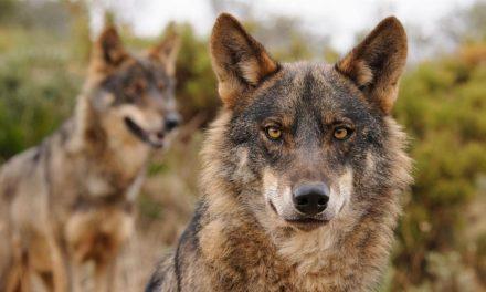 El lobo ibérico, desde hoy incluido en el Listado de Especies Silvestres en Régimen de Protección Especial tras su publicación en el BOE